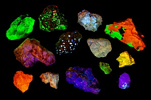 Various fluorescent minerals, under UV light including, Willemite, Aragonite, Fluorite and Zircon. See image 1434814 for specific identifications and country of origins.  -  Floris  van Breugel