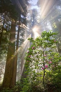 The sun breaks through layers of morning fog with wild Pacific Rhododendrons (Hymenanthes macrophylla) bloom amidst the giant Redwood trees. Del Norte Coastal Redwood State Park, June 2008  -  Floris  van Breugel