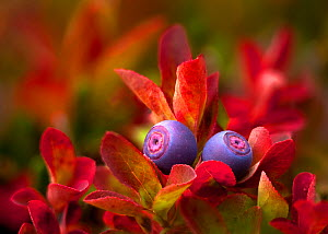 Cascade Bilberries (Vaccinium deliciosum) in an alpine meadow on the flanks of Mount Rainier, Washington, USA. September - Floris  van Breugel