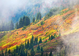 Hillside and swirling mists illuminated by the afternoon sun, in North Cascades Mountains, Washington, USA, September 2012.  -  Floris  van Breugel