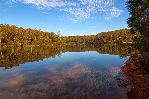 Big Brook Dam Lake with Eucalyptus forest, on the Pemberton Forest Drive, Pemberton, Western Australia,  December - Steven David Miller