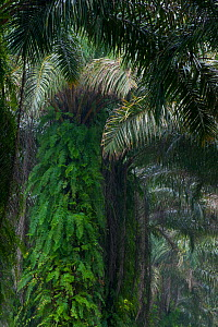 Old abandoned Oil Palm trees (Elaeis guineensis), covered in ferns, on the edge of plantation limits, at the edge of Korup National Park, South West Cameroon.  -  Jabruson