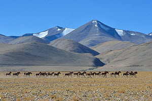 Herd of Tibetan Wild Asses / Kiang (Equus kiang) ChangThang, Tso Kar lake, at altitude of 4600m, Ladakh, India, October 2012 - Eric Dragesco,Eric Dragesco