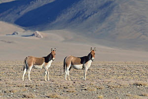 Tibetan Wild Ass / Kiang, (Equus kiang) ChangThang, Tso Kar lake, at altitude of 4600m, Ladakh, India - Eric Dragesco