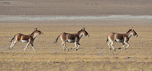 Tibetan Wild Asses / Kiang (Equus kiang) running, ChangThang, Tso Kar lake, at altitude of 4600m, Ladakh, India - Eric Dragesco
