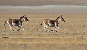 Tibetan Wild Asses / Kiang, (Equus kiang) running, ChangThang, Tso Kar lake, at altitude of 4600m, Ladakh, India - Eric Dragesco