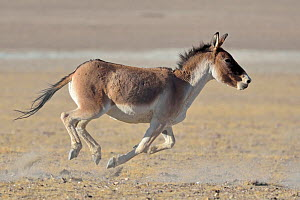 Tibetan Wild Ass / Kiang, (Equus kiang) running, ChangThang, Tso Kar lake, at altitude of 4600m, Ladakh, India - Eric Dragesco