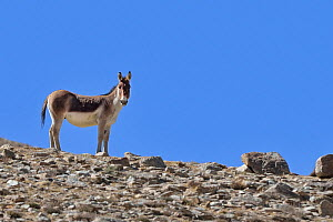 Tibetan Wild Ass / Kiang (Equus kiang) male, ChangThang, Tso Kar lake, at altitude of 4700m, Ladakh, India - Eric Dragesco