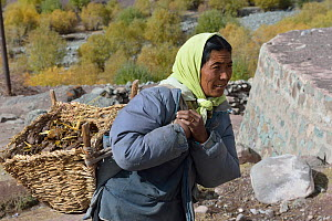 Woman collecting Yak droppings for fire, Shang Village, Hemis NP, at altitude of 4050m, Ladakh, India, October 2012  -  Eric Dragesco