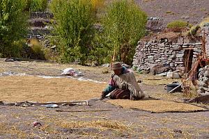 Old woman collecting Barley seeds, Shang Village, Hemis NP, at altitude of 4050m, Ladakh, India, October 2012  -  Eric Dragesco