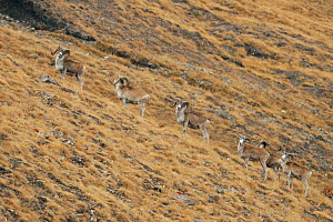 Tien Shan Argali  (Ovis karelini) herd of males, Tien Shan at an altitude of 4000m. Kirghizstan, September.  -  Eric Dragesco