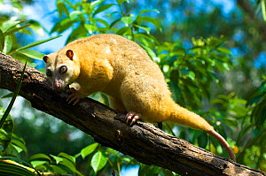 Common Cuscus (Phalanger orientalis) captive occurs in Timor to New Guinea. Captive.  -  Daniel  Heuclin