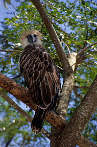 Philippines Eagle / Monkey-eating Eagle (Pithecophaga jefferyi) captive, Critically endangered. - Daniel Heuclin