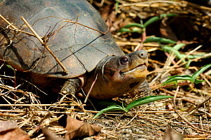 Philippine forest turtle or Leyte pond turtle. (Siebenrockiella / Heosemys leytensis) Palawan, Philippines. Endemic and critically endangered. - Daniel Heuclin