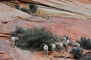 Desert bighorn sheep herd (Ovis canadensis), Zion National Park, Utah, USA November 2012  -  Jouan Rius