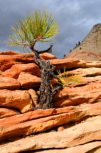 Young Ponderosa pine (Pinus ponderosa) growing in sandstone tower, Zion National Park, Utah, USA December 2012  -  Jouan Rius