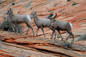 Desert bighorn sheep female (Ovis canadensis), Zion National Park, Utah, USA December 2012  -  Jouan Rius