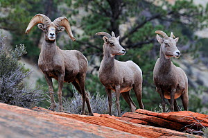 Desert bighorn sheep (Ovis canadensis), Zion National Park, Utah, USA December 2012  -  Jouan Rius
