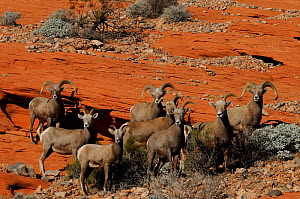 Desert bighorn sheep herd (Ovis canadensis), Valley of Fire State Park, Nevada, USA January 2013  -  Jouan Rius