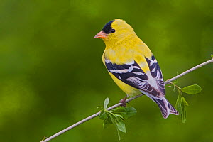 Goldfinch (Carduelis carduelis) male rear view, Canada  -  Visuals Unlimited