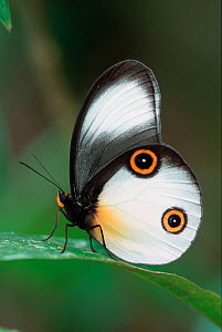 Silky owl Butterfly (Taenaris catops) profile portrait with wings closed, Crater Mountain, Papua New Guinea.  -  Visuals Unlimited