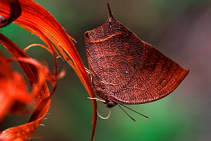 Nymphalid Butterfly (Anaea nessus) male, at 1600m altitude, Manu National Park, Peru  -  Visuals Unlimited