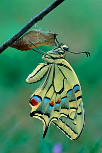 Swallowtail butterfly (Papilio machaon) emerging from chrysalis, Switzerland  -  Visuals Unlimited