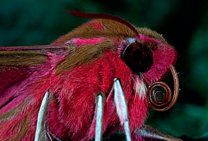 Elephant Hawkmoth (Deilephila elpenor) close up of head, Switzerland.  -  Visuals Unlimited