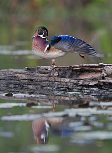 Wood duck (Aix sponsa) male stretching its wing, USA - Visuals Unlimited
