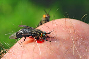 Horse Fly (Philopomyia sp) biting human skin, Vermont, USA  -  Visuals Unlimited