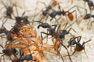Army Ants (Eciton burchelli) cluster around a Cricket they have caught. Captive  -  Visuals Unlimited