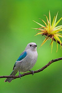 Blue-Gray Tanager (Thraupis episcopus) Costa Rica  -  Visuals Unlimited