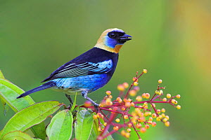 Golden hooded Tanager (Tangara larvata) Costa Rica  -  Visuals Unlimited