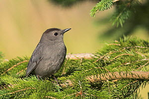 Grey Catbird (Dumetella carolinensis) Costa Rica - Visuals Unlimited