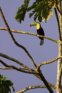 Keel billed Toucan (Ramphastos sulfuratus) up on high branch, Costa Rica  -  Visuals Unlimited