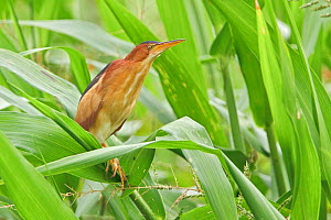 Least Bittern (Ixobrychus exilis) perched on a leaf in the Napo Valley in Amazonian Ecuador  -  Visuals Unlimited