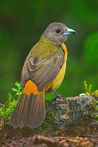 Passerini's tanager (Ramphocelus passerinii) previously known as Scarlet-Rumped Tanager, Costa Rica - Visuals Unlimited