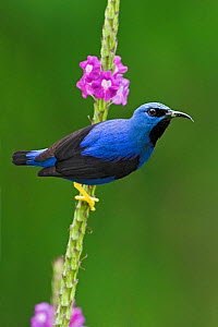 Shining Honeycreeper (Cyanerpes lucidus) Costa Rica  -  Visuals Unlimited