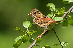Song Sparrow (Melospiza melodia) North America  -  Visuals Unlimited