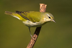 Tennessee Warbler (Oreothlypis peregrina) Costa Rica  -  Visuals Unlimited