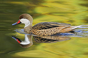 White-cheeked Pintail (Anas bahamensi) swimming with reflection in calm water, USA  -  Visuals Unlimited