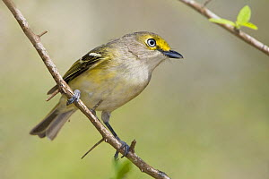 White eyed Vireo (Vireo griseus), South Texas, USA.  -  Visuals Unlimited
