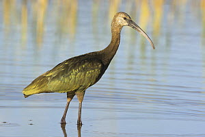 White faced Ibis (Plegadi chihi) in a lagoon in Oregon, USA.  -  Visuals Unlimited