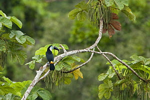 White throated Toucan (Ramphastos tucanus) perched on a branch in the Napo Valley in Amazonian Ecuador.  -  Visuals Unlimited