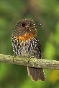 White-whiskered Puffbird (Malacoptila panamensis) perched on a branch at the Rio Palenque Reserve in northwest Ecuador.  -  Visuals Unlimited