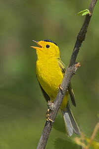 Wilson's Warbler (Cardellina / Wilsonia pusilla) singing from a branch in Victoria, British Columbia, Canada.  -  Visuals Unlimited