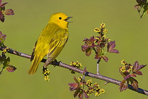 Yellow Warbler (Dendroica petechia) male singing on a branch, Ontario, Canada.  -  Visuals Unlimited