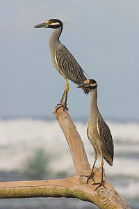 Yellow Crowned Night Heron (Nyctanassa violacea) two resting on tree stump, Costa Rica  -  Visuals Unlimited