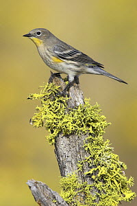 Yellow rumped Warbler (Stephaga / Dendroica coronata) perched on a branch in Oregon, USA.  -  Visuals Unlimited