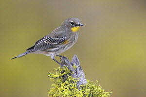 Yellow rumped Warbler (Setophaga / Dendroica coronata) perched on a branch in Oregon, USA.  -  Visuals Unlimited